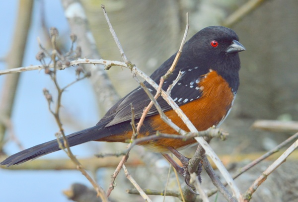 Easy  going  Mr.  Towhee by tonyguitar