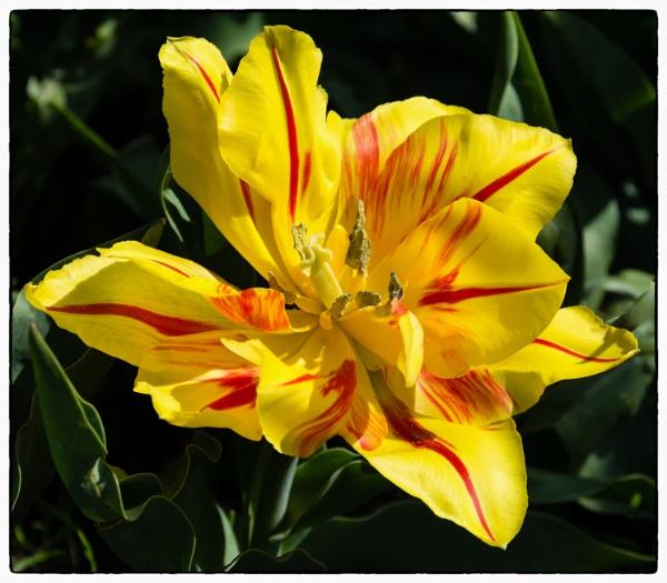 Tulip by Nikonuser1