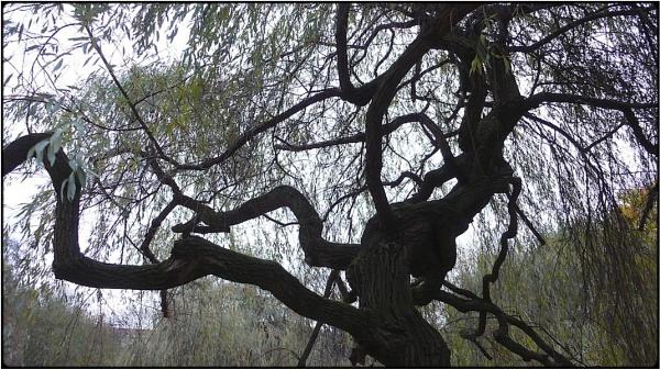 willow tree by FabioKeiner