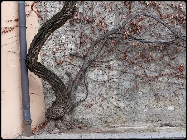 the drunken ivy-tree by FabioKeiner