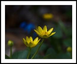 Appalachian Spring : 5  Celandine and Scilla