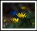 Appalachian Spring : 5  Celandine and Scilla by taggart