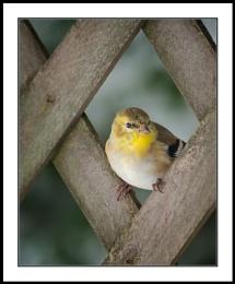 Appalachian Spring : 6  American Goldfinch