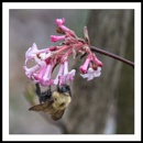 Appalachian Spring : 7 Bumble Bee and Dawn Viburnum by taggart