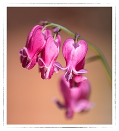 Dwarf Bleeding Hearts