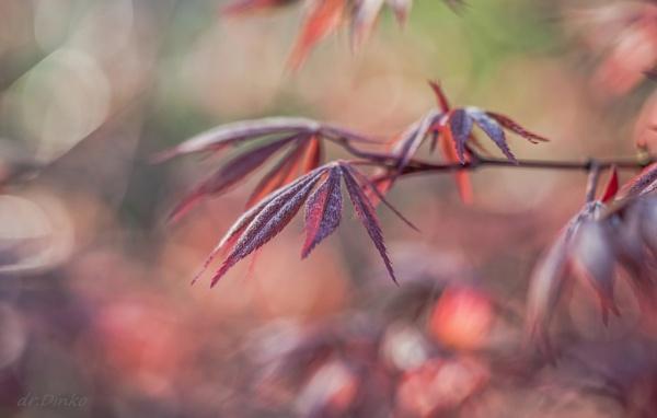 Acer palmatum atropurpureum by drDinko