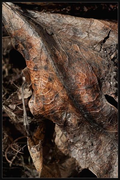 Old Leaf by Morpyre