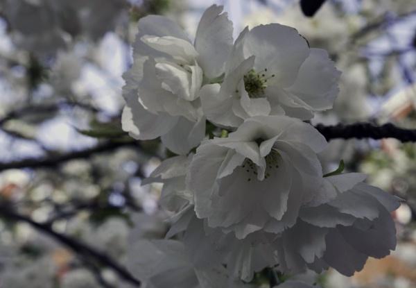 White cherry blossom by BillRookery