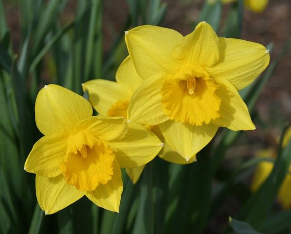 Daffodils by Phyllis007