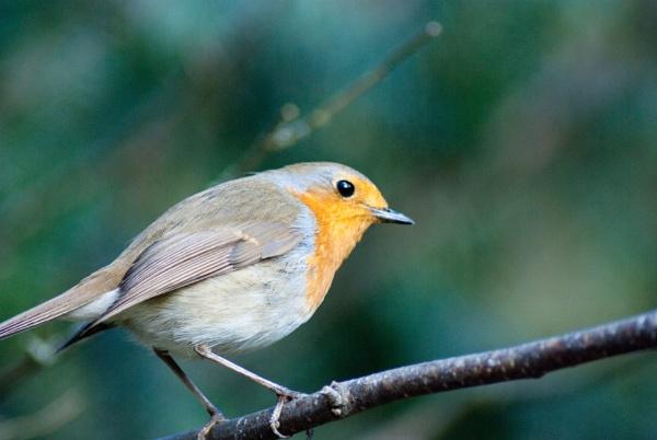 Little Robin by Owen05
