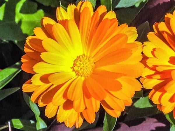 Orange Osteospermum by geoffgt