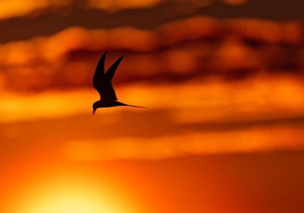 Arctic Tern by hannukon
