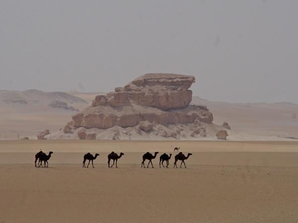 Al Hassa Camels by Savvas511