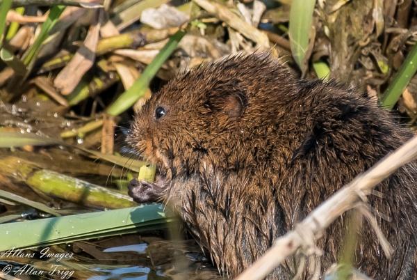 Water vole by allan56