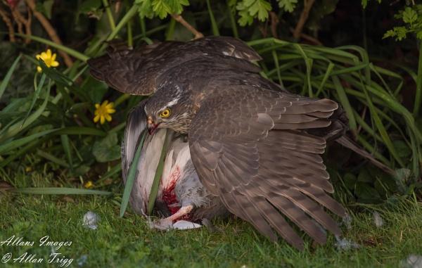 Sparrowhawk by allan56