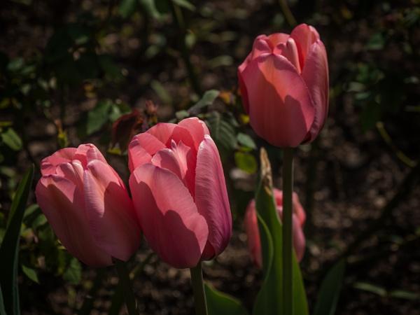 Pink tulips by fujipat