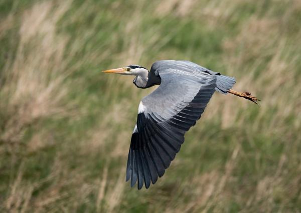 Heron by razer