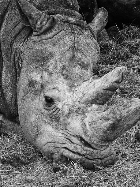Rhino by frenchie44