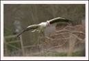 White Stork by Maiwand
