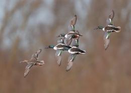 Shovellers Formation Flying