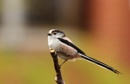Long Tailed Tit by nglen