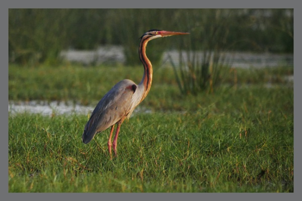 Purple Heron by prabhusinha