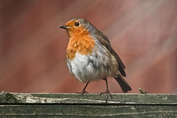 robin posing by stevegilman