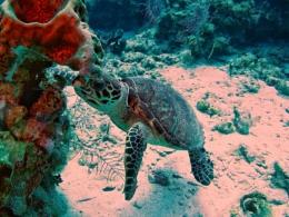 Sea Turtle, Grand Cayman.