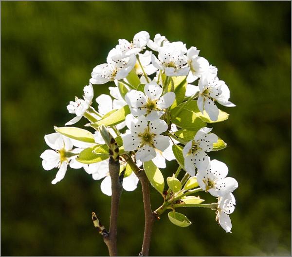 Backlit blossom by rambler