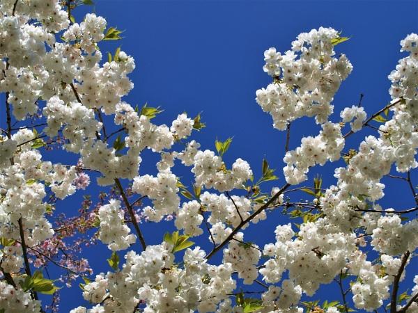 blossom by MacroRebel