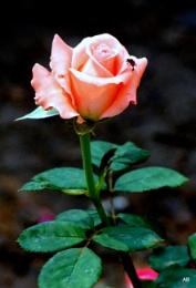 """ ROSE.....ROSE......"""
