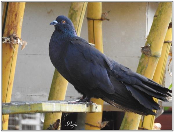 Anxious Pigeon by RajaSidambaram