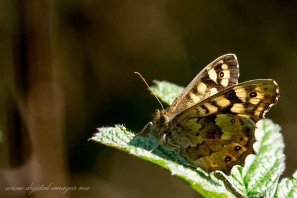 Speckled Wood by Alan_Baseley