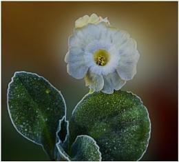 Auricula  pearl white