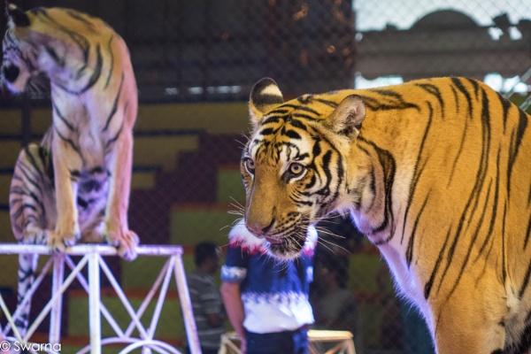 Tiger Show II - Sriracha Pattaya, Thailand by Swarnadip