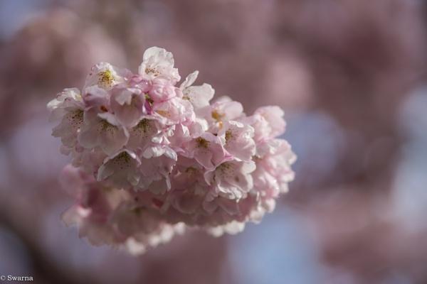 Cherry Blossom by Swarnadip