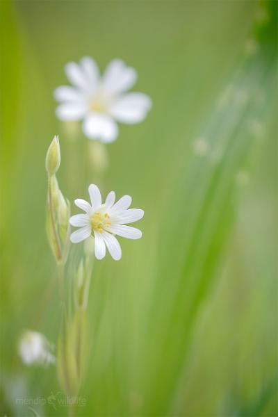 Greater Stitchwort - Stellaria holostea by Mendipman