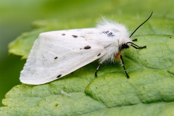 Muslin Moth - Diaphora mendica by Mendipman