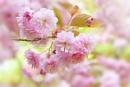 Prunus Kanzan by jackyp