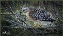 Hawk by rgg