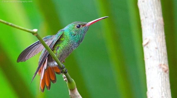 "Rufous Tailed Hummingbird \""Amazilia Tzacatl\"", Costa Rica by brian17302"