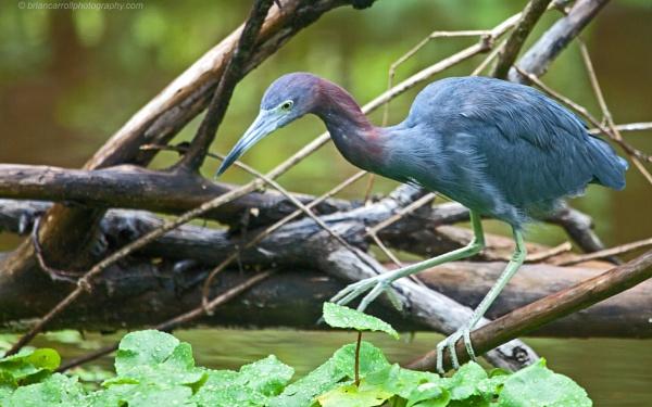 """Little Blue Heron \""""Egretta Caerulea\"""", Costa Rica by brian17302"""