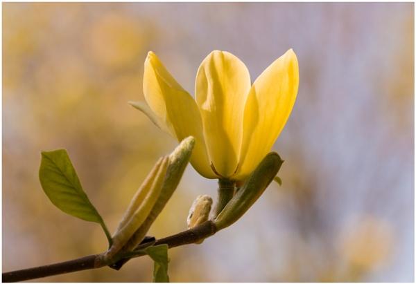 Yellow Magnolia by capto