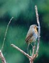 Robin in the Rain by Philpot