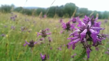 Meadow with purple flowers