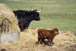 Young Highland calf.
