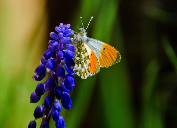 Orange-tip by wightbern