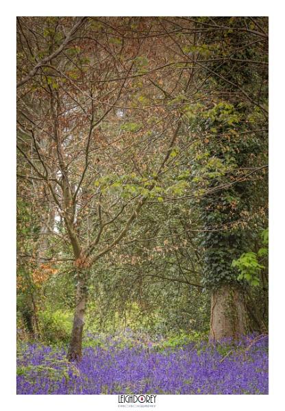 Dorset Bluebells by LDorey