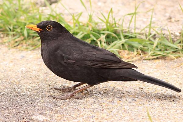 Blackbird (M) by bobpaige1