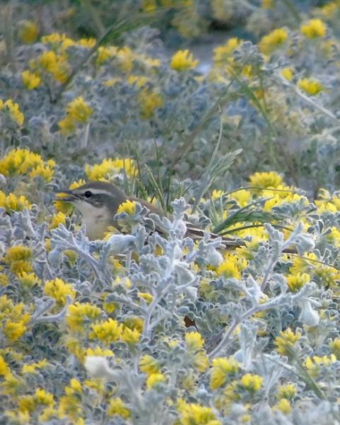 Western yellow wagtail (Motacilla flava) by idiabb